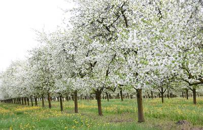 Tavasz a gyümölcsösben